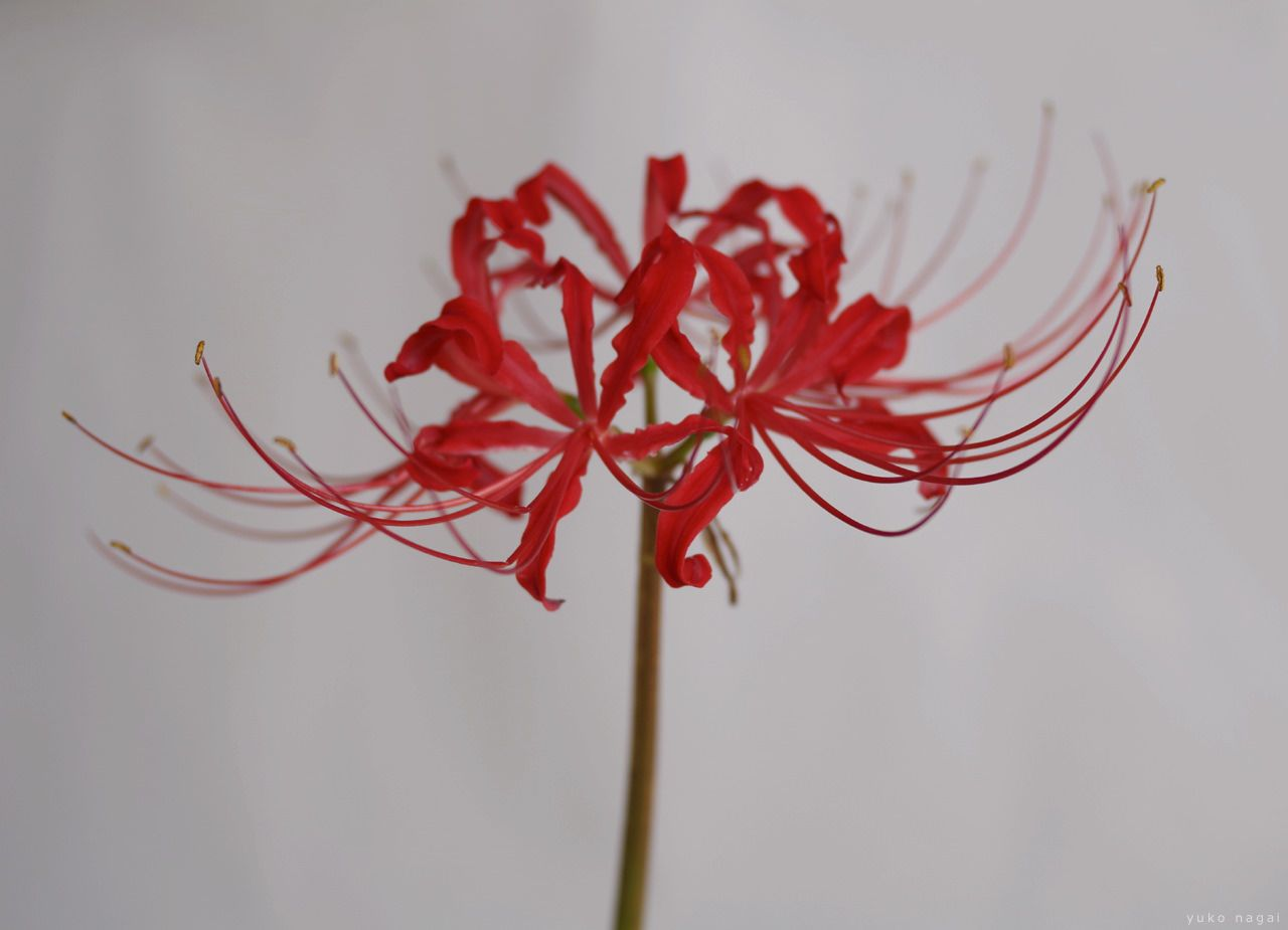 Red Lilies Returned | Yuko Nagai. Artist. | Spider Lily ...