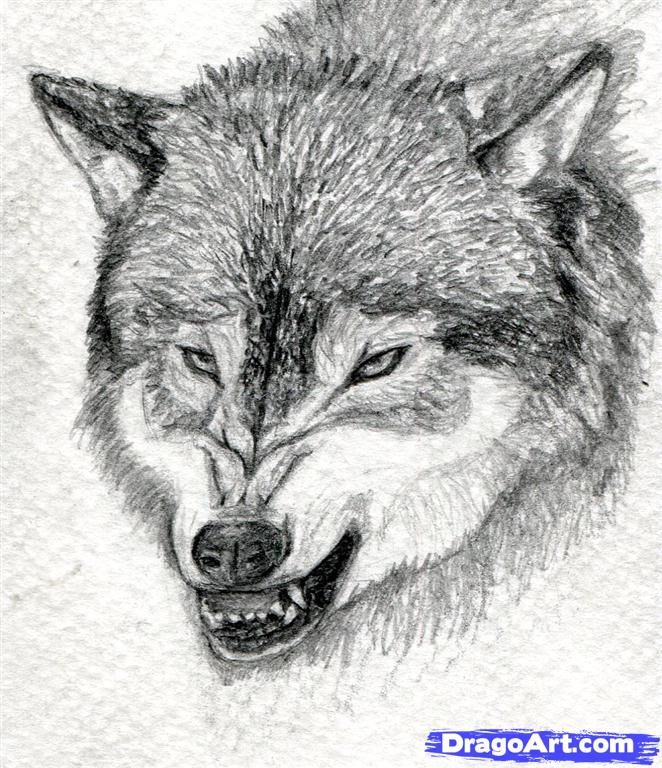 Wolf Drawings Online: How To Draw A Growling Wolf Step 15