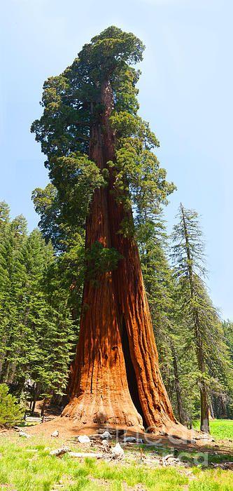 Pin By Ram Vasudev On Plants In 2020 Redwood Tree Tree Photography Sequoia Tree