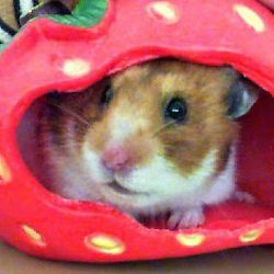 Bubbles the Syrian Hamster/ xx