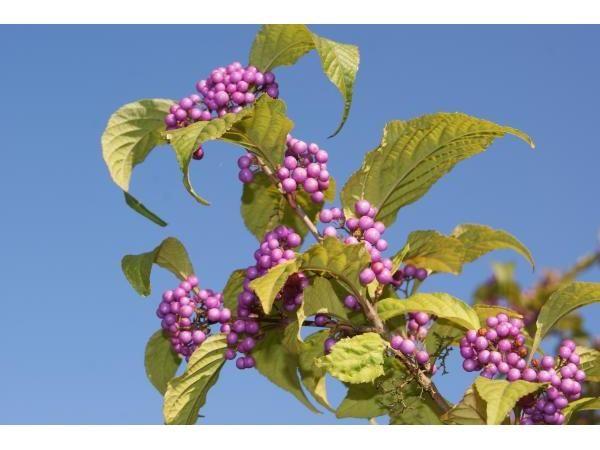 Arbuste aux bombons, 50/60 cm pot 1L - Callicarpa bodinieri Profusion : acheter en ligne sur Jardins Du Monde. Pépinière, jardinerie en ligne. Livraison partout en Europe