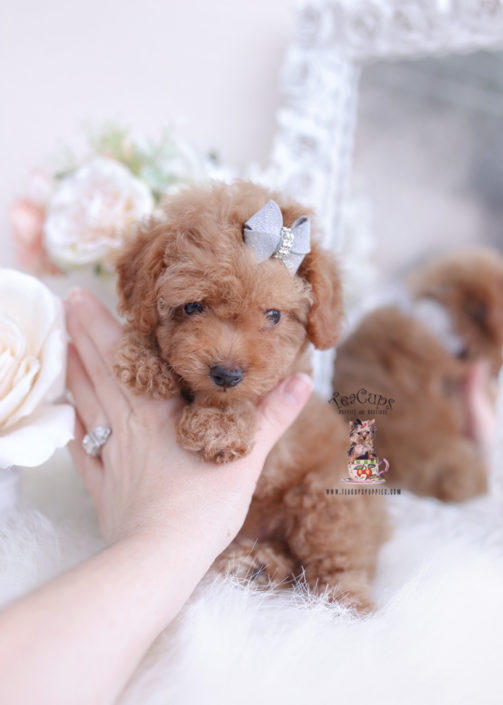 Male Toy Poodle Puppy For Sale Teacup Puppies 415 In 2020 Toy Poodle Puppies Teacup Puppies For Sale Teacup Puppies