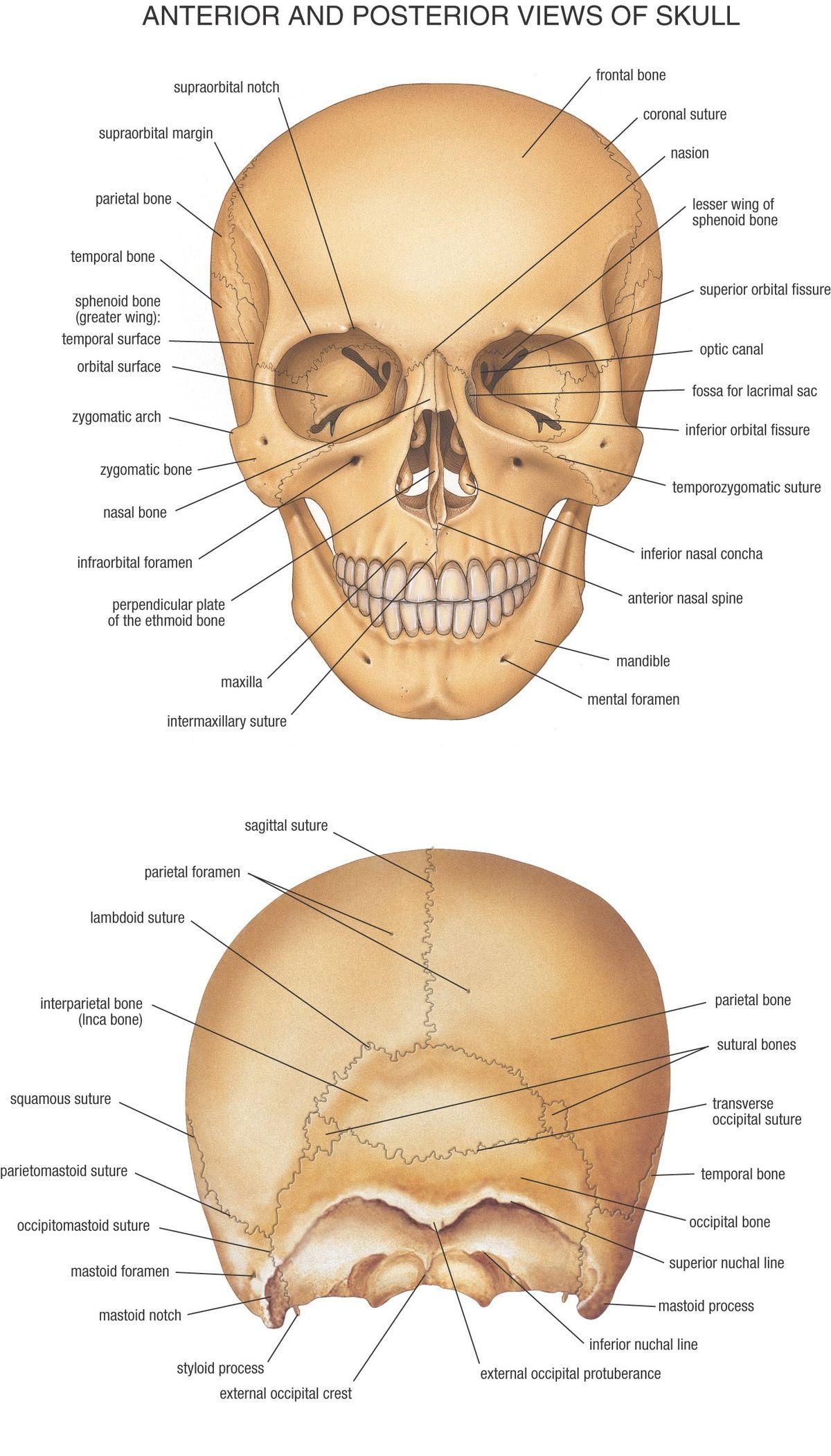 Anterior And Posterior View Of Skull Skulls Pinterest Anatomy