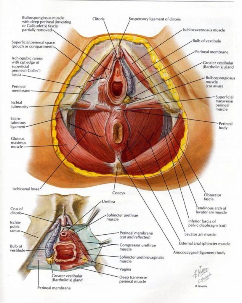 Female pelvic area anatomy in detail - www.anatomynote.com | Anatomy ...