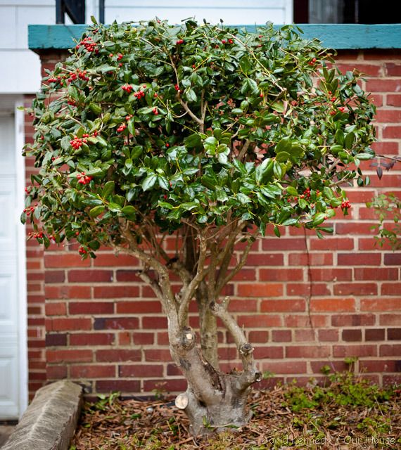 When should holly bushes be pruned?