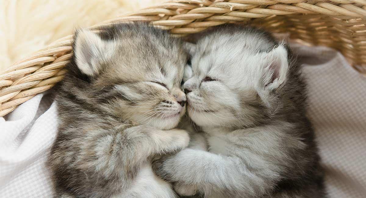 Male Or Female Cat Which Pet Is Best The Happy Cat Site Sleeping Kitten Tabby Kitten Happy Cat