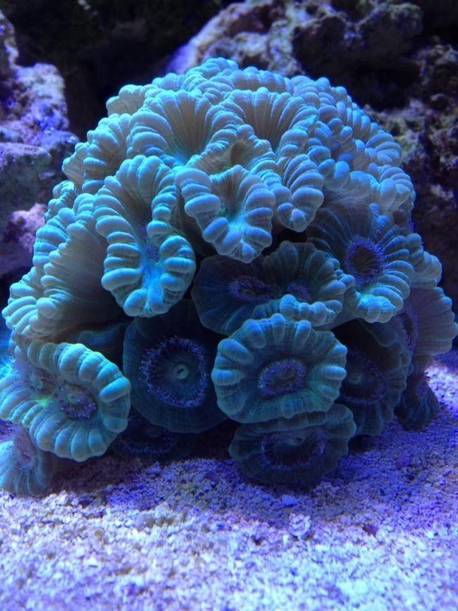 Candy Cane Trumpet Coral Good For Beginners Reef2reef Article Ocean Creatures Reef Tank Saltwater Aquarium Beginner