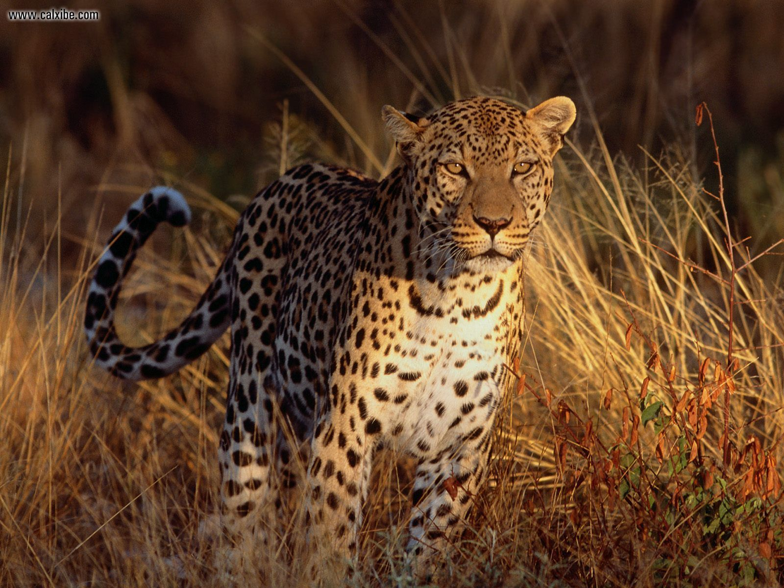 Leopard, my favorite of the big cats | the CAT's meow ...