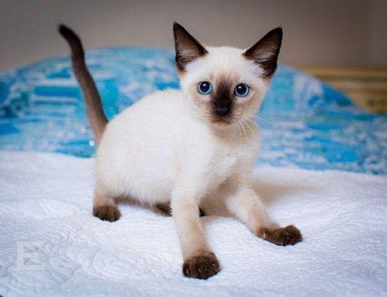 Tasha 8 Week Old Siamese Kitten Www Catmatchers Org Siamese Kittens Kittens Kitten
