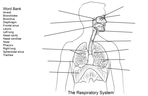 Respiratory System Worksheet coloring page from Anatomy
