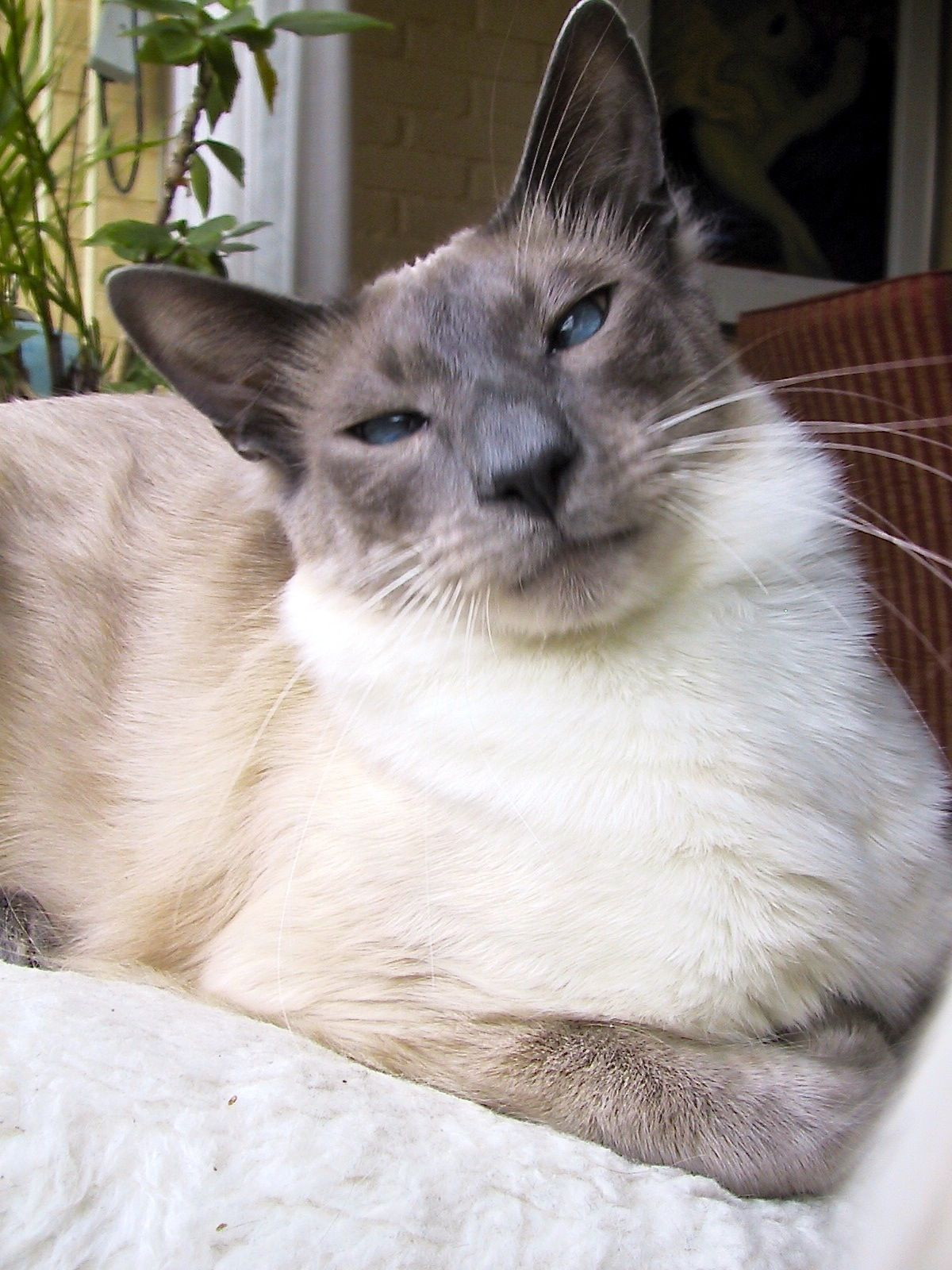 The Balinese Is Breed Of Domestic Cat With Long Hair And