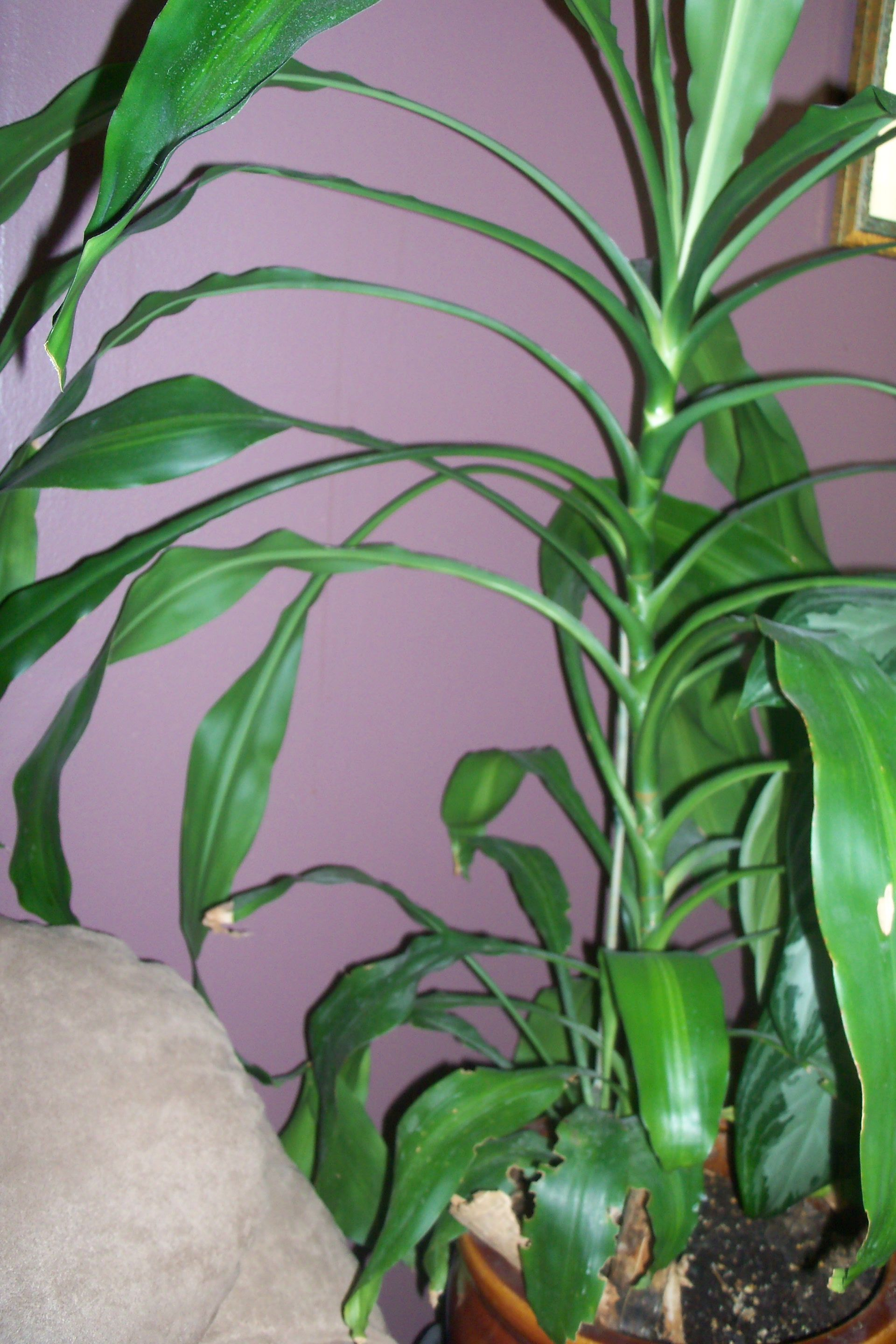 Houseplant dracanea corn plant tall looks like a corn stalk easy to care for houseplants - Tall house plants ...