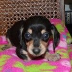 Smooth Coat Black Cream Miniature Dachshund Puppy Female