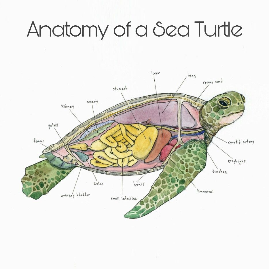 Sea Turtle Anatomy : marinebiology