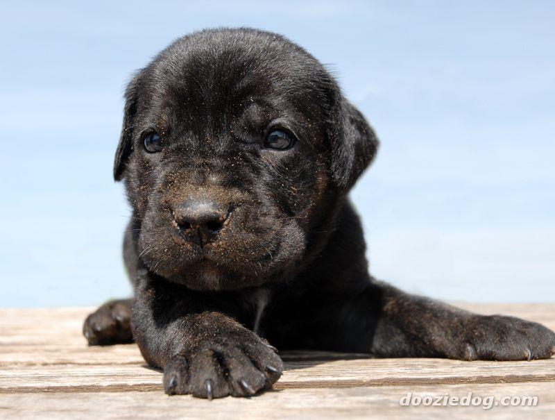 Cane Corso Puppy Cane Corso Puppies Cane Corso Puppies