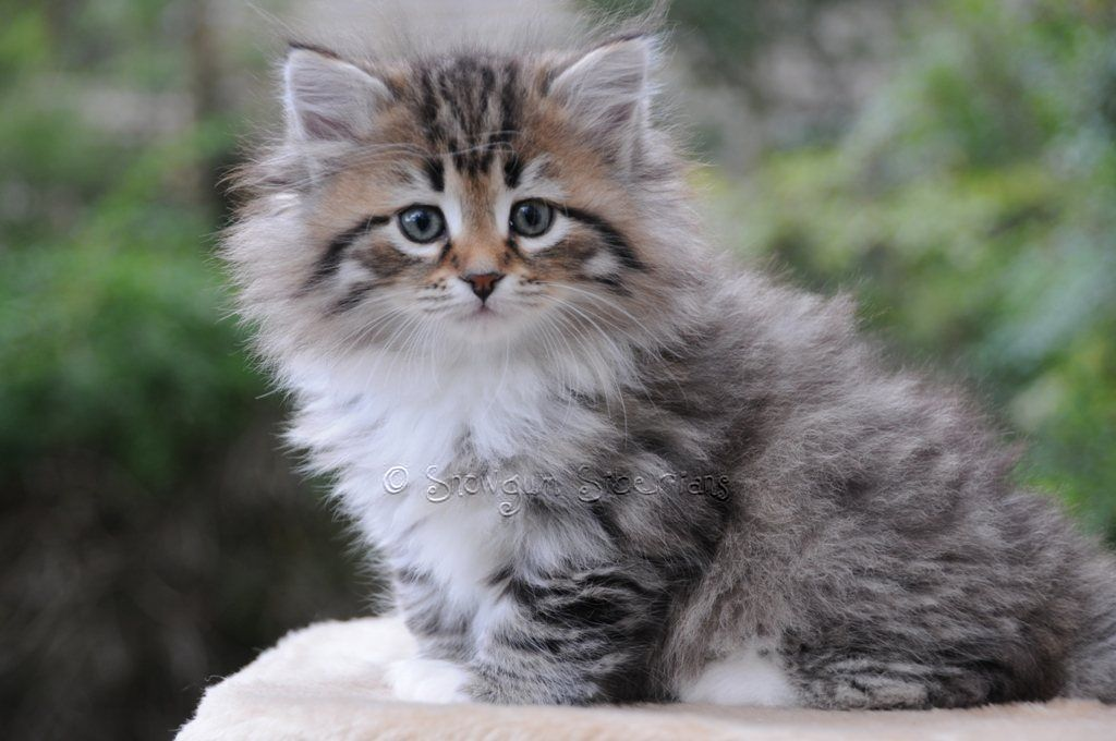 Not To Be Missed Cat Ideas And Training Tips Siberian Kittens