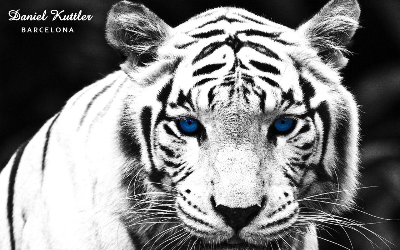 Tigre Blanco De Bengala Con Ojos Azules.