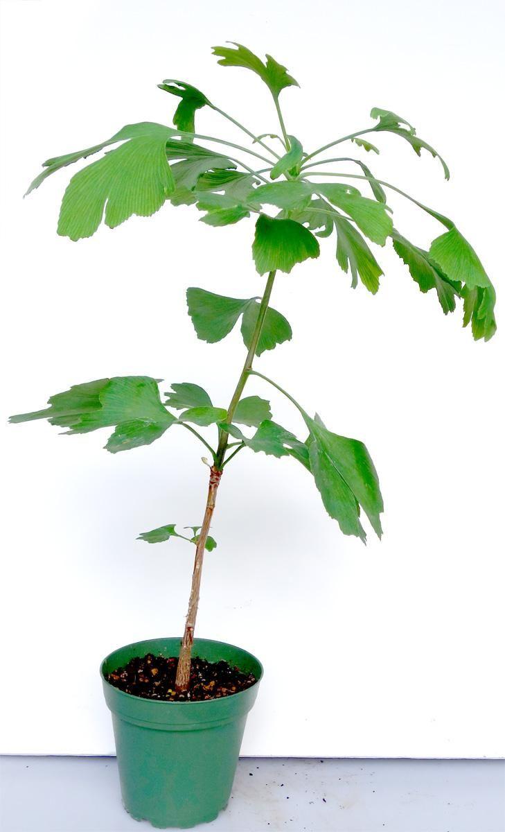 Ginkgo Bonsai Tree 1005 Bonsai Tree Types Bonsai Soil Bonsai Tree