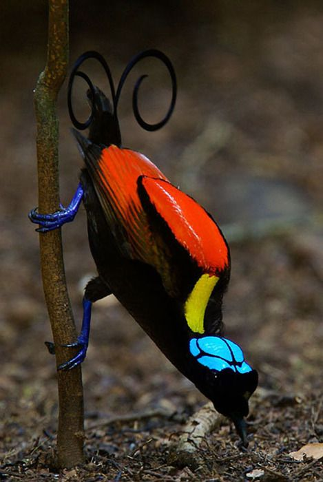 The Wilson's Bird-of-paradise, Cicinnurus respublica, is a small, up to 21 cm long, passerine bird of the Paradisaeidae family. The male is a red and black bird-of-paradise with a yellow mantle on its neck, light green mouth, rich blue feet and two curved violet tail feathers. The head is naked blue with black double cross pattern on it. The female is a brownish bird with bare blue crown.