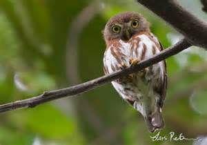 East Brazilian Pygmy Owl Glaucidium minutissimum - Google Search