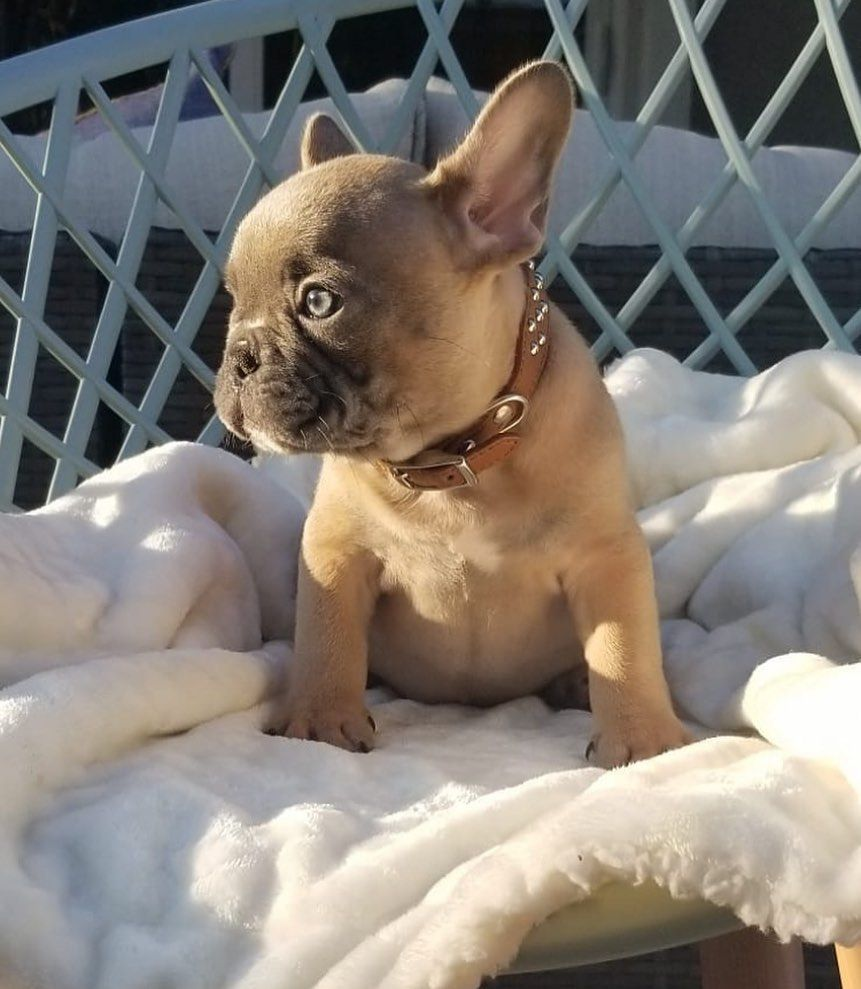 Sell Your Litter Click The Website Link In Bio Sign Up For Free In 2020 Cute Animals Cute Baby Animals French Bulldog Puppies