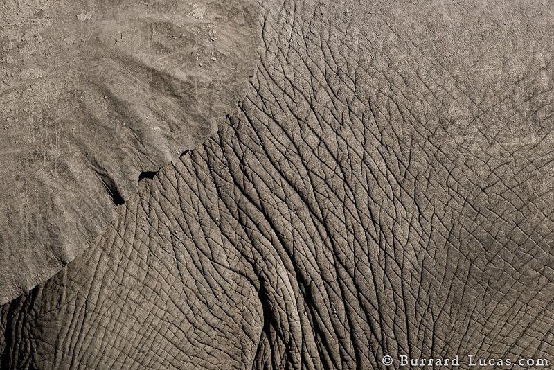 Elephant Texture - Burrard-Lucas Photography