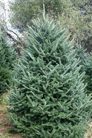 Image result for fraser fir pictures