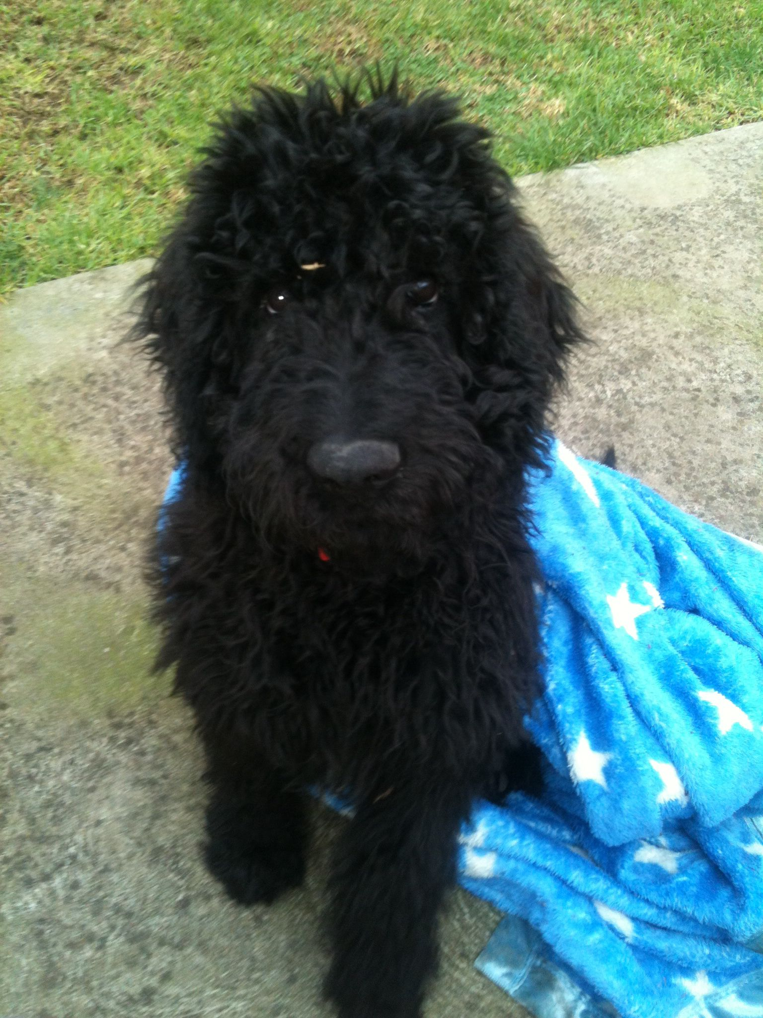 Bentley our black Groodle. Such a beautiful creature