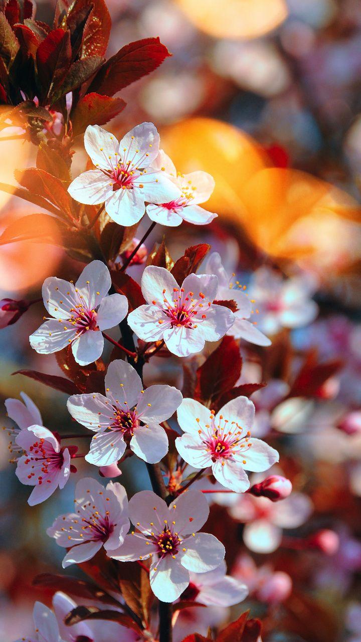 Download 720x1280 wallpaper Cherry blossom, pink flowers ...