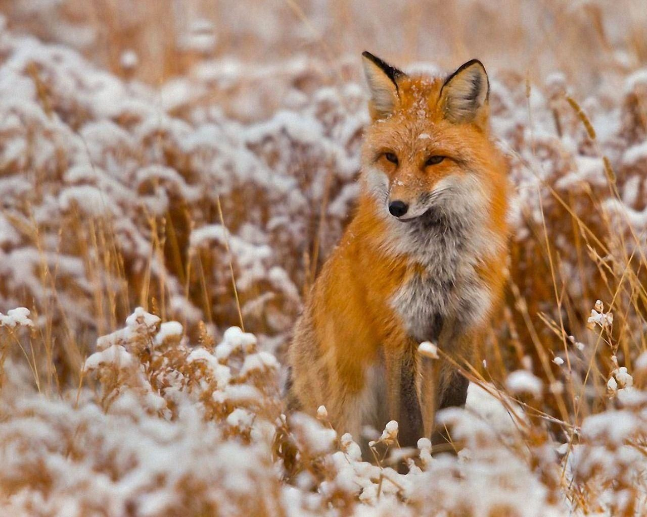 10 Best Red Fox Hd Wallpaper Full Hd 1920 1080 For Pc Desktop Fond D Ecran Renard Renard Roux Renard Animal De Compagnie