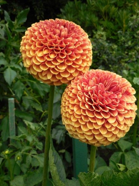 Butchart Gardens Dahlia's