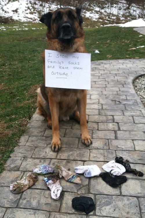 Sock Thief Dog Shaming Dogs
