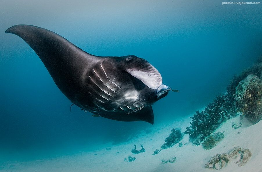 Black manta ray or sea-devil (manti - the biggest slopes, the width of up to 7 m, there are light and dark), Raja Ampat, West Papua, Indonesia, Indian Ocean