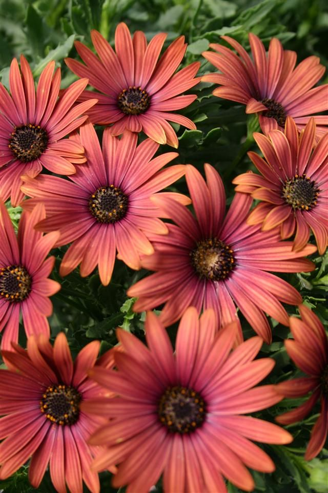 osteospermum sunny becca osteospermum pinterest flowers garden et daisy. Black Bedroom Furniture Sets. Home Design Ideas