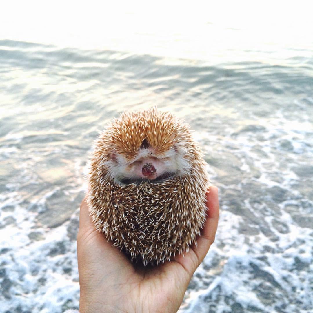 Amelia Hedgehog