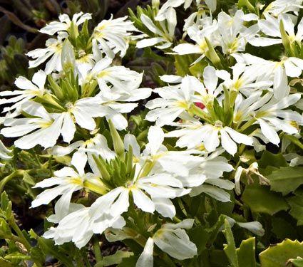 For butterfly garden scaevola aemula bombay white white flower for butterfly garden scaevola aemula bombay white white flower farm mightylinksfo Gallery