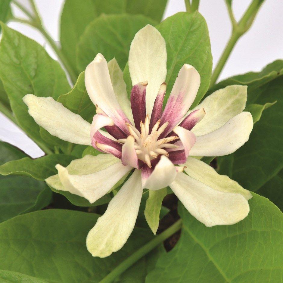 Calycanthus 'Venus' Carolina allspice in 2020 Trees to