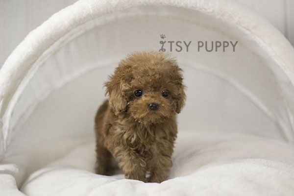 Carrot Female Teacup Poodle Available Itsy Puppy Teacup And