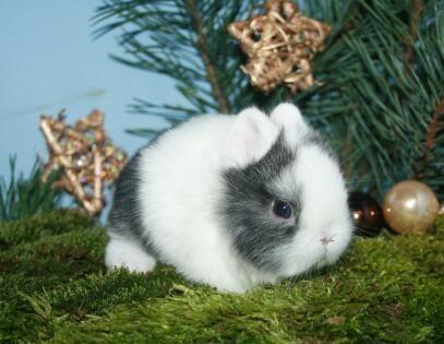 Mini Zwergkaninchen Und Zwergkaninchen Kaninchen Zwergkaninchen Hasen Fotos