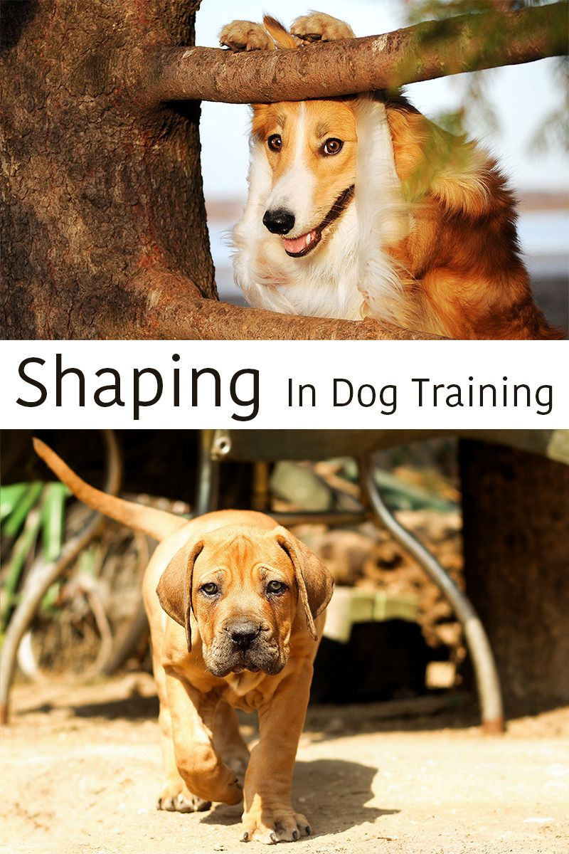 Shaping In Dog Training Teaching Dogs Complex Tasks Dog