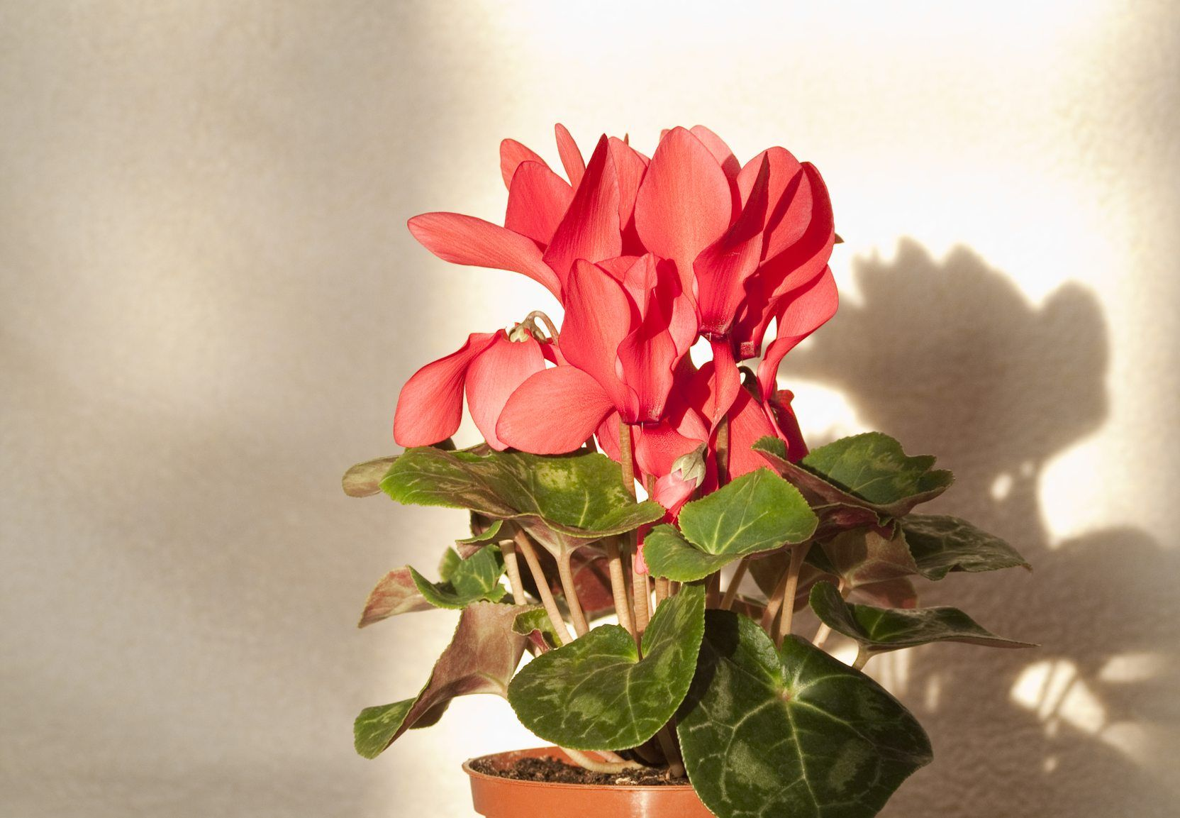 Why Is Cyclamen Drooping How To Revive A Drooping