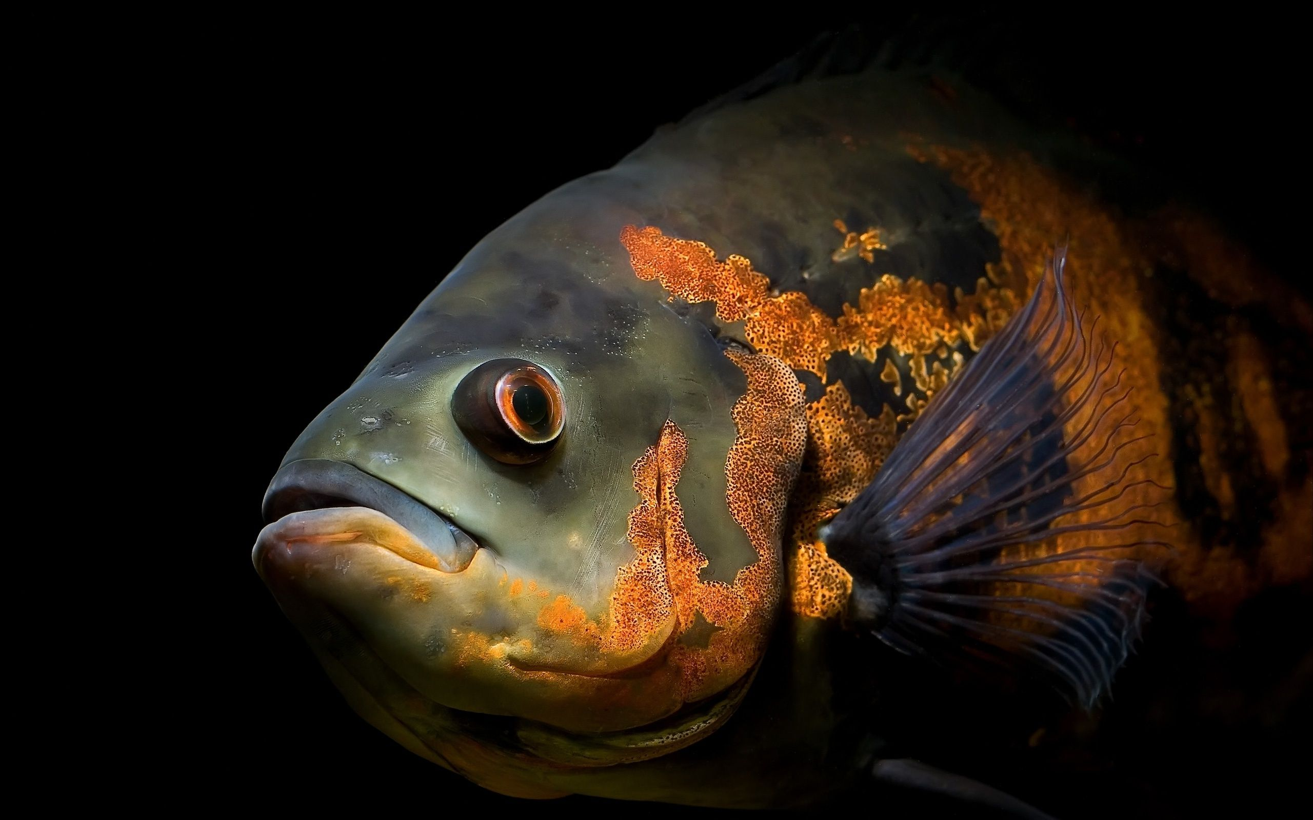 Red Black Oscar Fish Wallpapers Pictures Photos Images Oscar Fish Pet Fish Fish Wallpaper