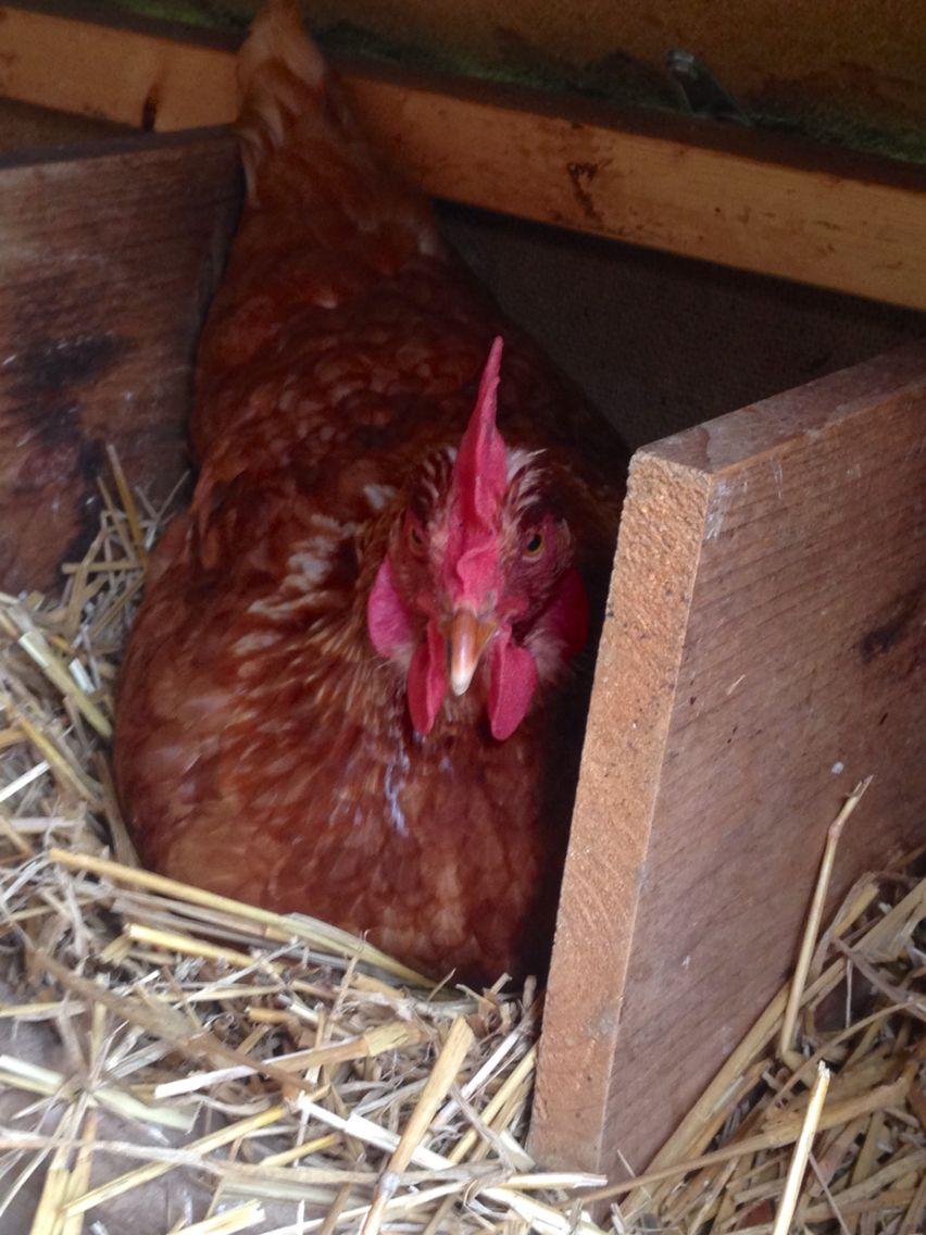 Fluttershy in nesting box