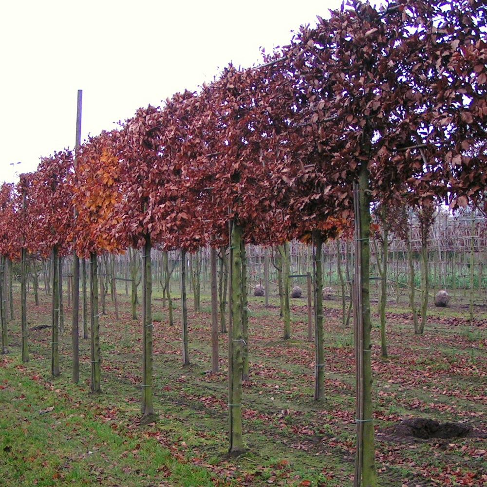 Pleached Photinia Red Robin Google Search Outdoor Living