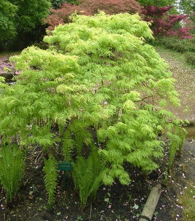 acer palmatum dissectum garden pinterest. Black Bedroom Furniture Sets. Home Design Ideas