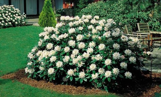 Alperose Cunningham S White Rhododendron Plants Planters