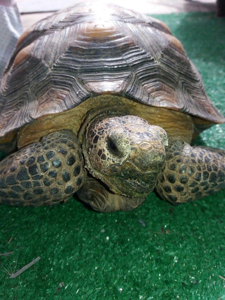 Just relaxing my desert tortoise is cooler then yours pinterest