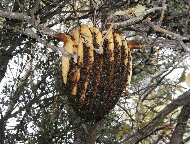 l 39 essaim des abeilles des gu pes et des bourdons apiculture les animaux en r ve et ce qui. Black Bedroom Furniture Sets. Home Design Ideas
