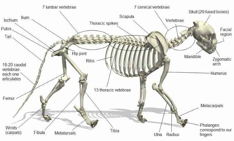 Cat Skeleton Medical Info Cat Anatomy Cat Skeleton Vet Med