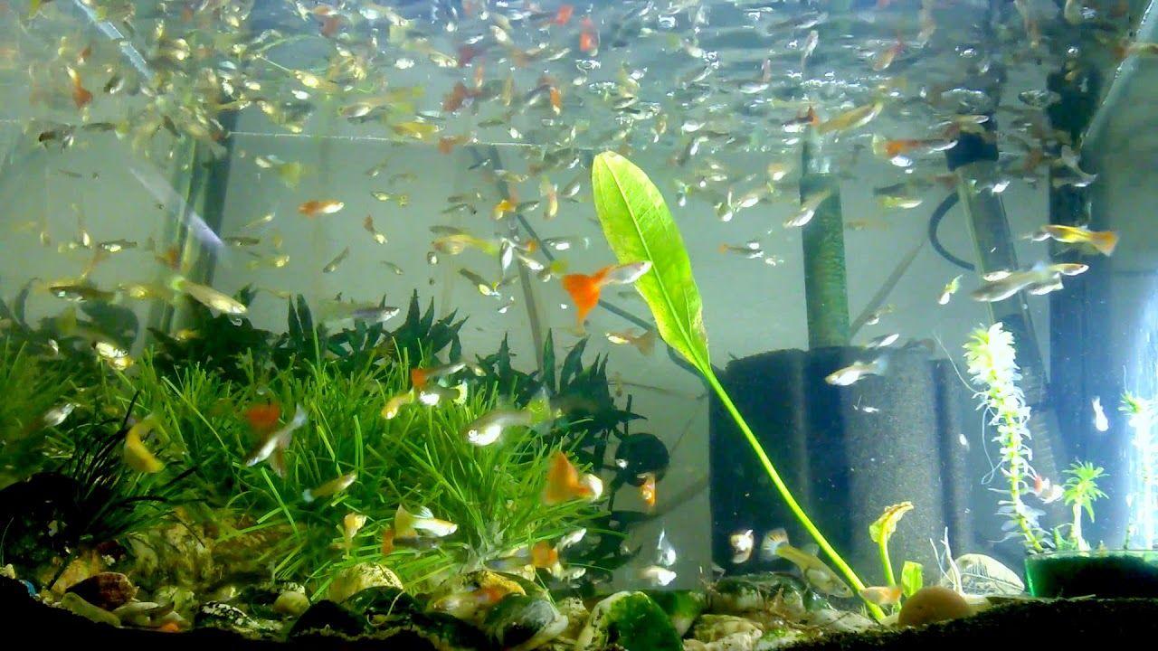 Fishtankaquariums Guppies Breeding Fishtank Guppy Fish Tank Aquarium Fish Tank